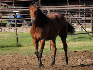 Marthas Six Moons, Tanquery Gin, Joe Hancock and Sugar Bars ranch bred filly for sale