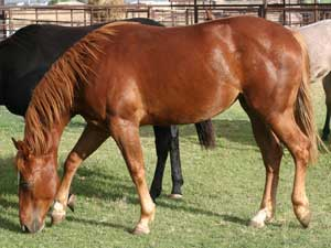 Hancock's Blue Boy & Blue Valentine bred ~ sire is a grandson of Blue Valentine and the dam is a granddaughter of Hancock's Blue Boy