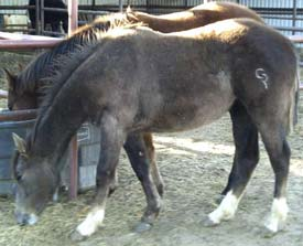 gray filly Poco Bueno and Jackie Bee bred