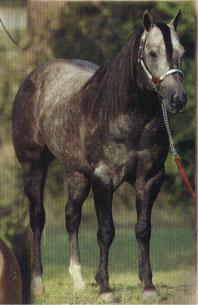 Hancock Six gray stallion son of Tanquery Gin and Happy Hancock 28