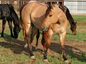 Blue Valentine, Tanquery Gin and Sugar Bars ranch bred dun filly for sale