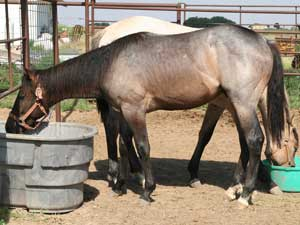 Blue roan colts for sale in Texas with Joe Hancock, Blue Valentine & Dash For Cash bloodlines at CNR Quarter Horses in Lubbock, Texas