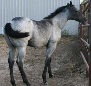Blue Valentine and Sugar Bars bred filly