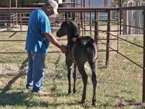 Romeo Blue ~ Mr Clyde Hancock bred filly for sale in Texas