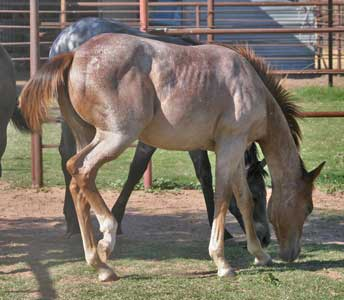 CNR filly Blue Valentine bred sire grandson of Blue Valentine dam Waggoner Ranch bred