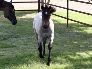 blue roan filly for sale in Texas