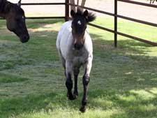 Dash For Cash ~ Hancock bred buckskin filly for sale in Texas