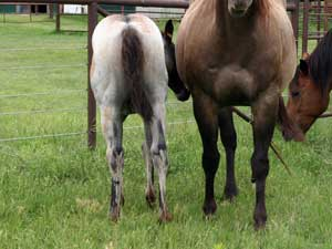 First Down Dash, Boon Bar and Blue Valentine filly for sale in Texas
