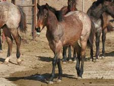 Double bred Blue Valentine ~ Double bred Driftwood Ike bay roan filly for sale