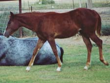 CNR Eddie Waggoner sorrel filly Joe Hancock and Jackie Bee bred
