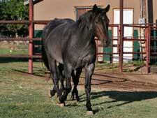 CNR Quarter Horses raising blue roans, duns, red roans and ... - photo#16