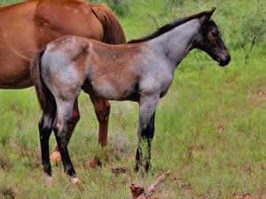 CNR filly Blue Valentine bred sire grandson of Blue Valentine dam Dash For Cash bred