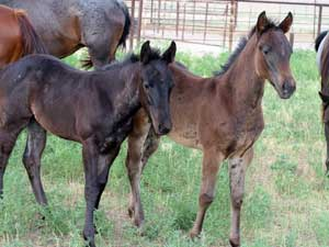 buckskin filly for sale in Texas