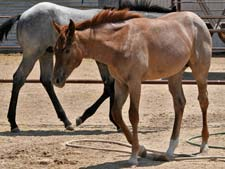 Triple bred Blue Valentine and Waggoner breeding
