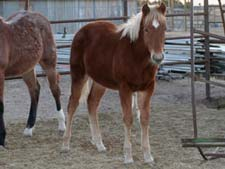 Ruano Rojo, Blue Valentine, Driftwood quarter horse filly for sale in Texas
