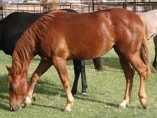 Hancock ~ Blue Valentine bred quarter horses for sale