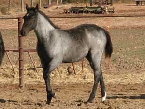 CNR Ruano Blue ~ Blue Valentine bred ~ sire is a grandson of Blue Valentine and the dam is Dash For Cash bred through First Down Dash and Dashing Cleat