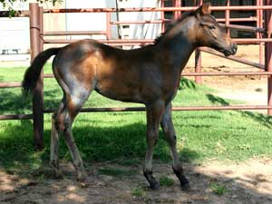 Blue roan colt for sale in Texas with Joe Hancock, Blue Valentine & Dash For Cash bloodlines at CNR Quarter Horses in Lubbock, Texas