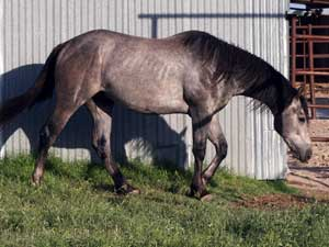 gray quarter horse Joe Hancock and Jackie Bee bred