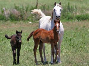 Triple bred Blue Valentine and Sugar Bars bred blue roan filly