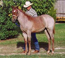 red roan filly Peptoboonsmal and Joe Hancock-Sugar Bars bred