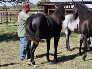 First Down Dash, Boon Bar and Blue Valentine blue roan filly for sale in Texas