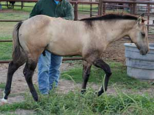 First Down Dash, Boon Bar and Blue Valentine grulla colts for sale in Texas