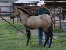 Joe Hancock - Blue Valentine, Dash For Cash and Boon Bar bred grullo colt for sale in Texas