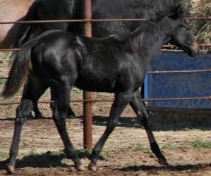 First Down Dash, Three Chick's and Blue Valentine filly