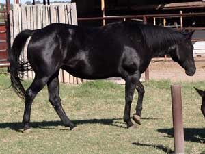 CNR filly Blue Valentine bred sire grandson of Blue Valentine dam granddaughter of Jackie Bee