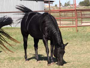 CNR foundation filly Blue Valentine bred ~ sire grandson of Blue Valentine dam granddaughter of Jackie Bee