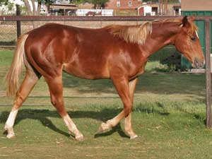 CNR Valentine Guy ~ Blue Valentine bred ~ his sire is a grandson of Blue Valentine and the dam is a daughter of Mr Clyde Hancock who goes back to Blue Valentine 3 times