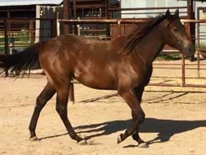 Driftwood, Joe Hancock, Jackie Bee and Sugar Bars ranch bred brown filly for sale