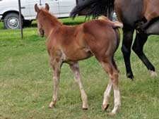 Romeo Blue ~ Mr Clyde Hancock bred dun colt for sale in Texas