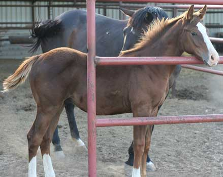 First Down Dash, Boon Bar and Colonel Freckles quarter horse for sale