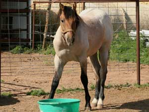 CNR Son O Frost dun roan colt grandson of Pat Cowan, son of Sun Frost ~ legendary barrel racing sire along with Sugar Bars ~ Leo cross bloodlines and Blondy's Dude