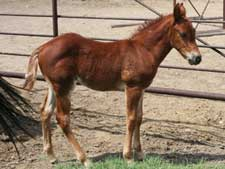 Romeo Blue ~ Mr Clyde Hancock bred sorrel filly for sale in Texas