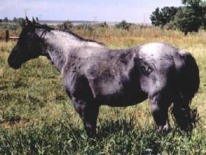 Hancock's Blue Boy ~ Broken Bones Cattle Company ~ Lander, Wyoming