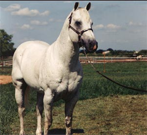 Gray quarter horse stallion son of Blondy's Dude and out of a daughter of Jackie Bee