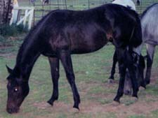 black gelding Hancock, Sugar Bars and Leo bred