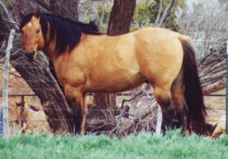 Roy Boy Holder red roan grandson of the great barrel racing sire Sunfrost