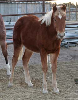 Blue Valentine, Ruano Rojo, Driftwood and Joe Hancock bred quarter horse for sale