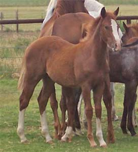 CNR Smart Bar 101 red roan quarter horse Smart Jose, Smart Little Lena and Waggoner 101 bred filly