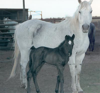 Gray quarter horse mare out of a daughter of Son O Sugar