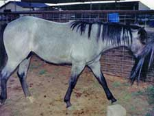 blue roan stallion Hancock, Jackie Bee and Waggoner bred