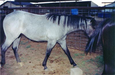 Washita Waggoner blue roan stallion Joe Hancock, Jackie Bee and Waggoner bred